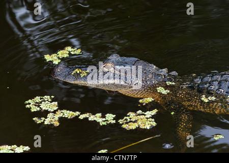 Alligator Bayou Adams dans la nuit près d'Orange au Texas. Banque D'Images