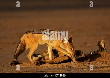 Un chacal à dos noir (Canis mesomelas) les charognards sur une carcasse, désert du Kalahari, Afrique du Sud Banque D'Images