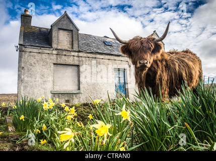 Vache Highland, Isle of Harris, Scotland Banque D'Images
