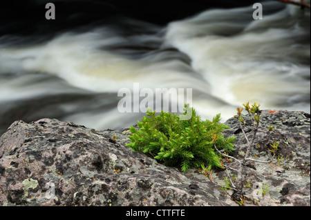 Des semis d'épinette en affleurement rocheux près de la rivière Firehole Parc National de Yellowstone, Wyoming, Banque D'Images