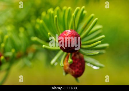 L'épinette blanche (Picea glauca) à la fin du cône en succursale, le Grand Sudbury, Ontario, Canada Banque D'Images