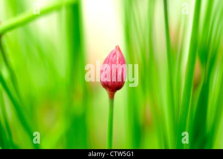 Fleur de ciboulette non ouvert (Allium schoenoprasum), England, UK Banque D'Images