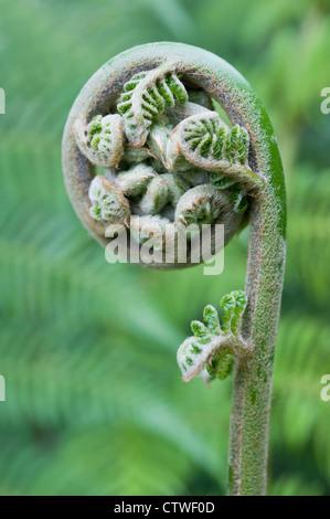 Fern leaf sur le point de se déployer, d'un type de plante ptéridophytes Banque D'Images