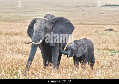 Veau de l'Eléphant d'Afrique, Loxodonta africana, suivant sa mère, Masai Mara National Reserve, Kenya, Africa Banque D'Images
