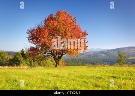 Seul arbre dans la couleur en automne, Parc Paysager de Silésie Beskid, Pologne Banque D'Images
