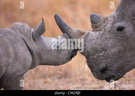 Rhinocéros blanc bébé nuzzling sa mère Banque D'Images
