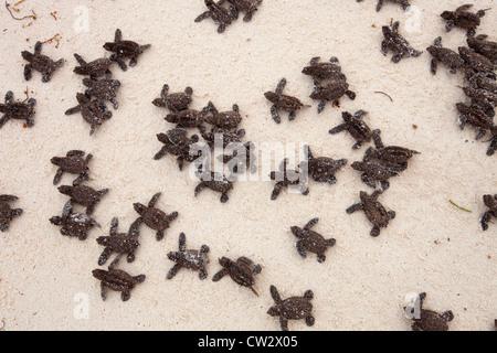 La tortue imbriquée (Eretmochelys imbricata). Espèces menacées.Seychelles Banque D'Images