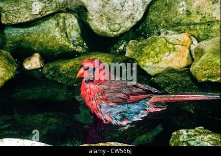 Le cardinal rouge mâle dans le pool à l'echelle entre les roches moussues Banque D'Images