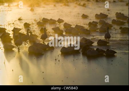 Des milliers des neiges La grue s'asseoir sur le lac après le lever du soleil au début de l'hiver gel Bosque del Banque D'Images