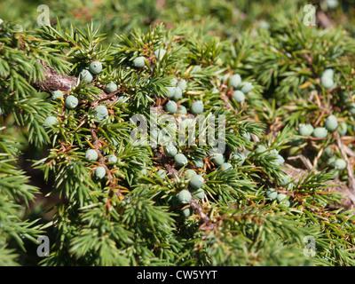 Bush de Juniper Direction générale avec des aiguilles et des baies vertes non mûres Banque D'Images