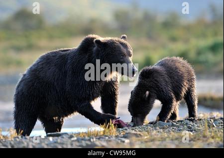 Mère grizzly avec ourson de manger un saumon pêché. Banque D'Images