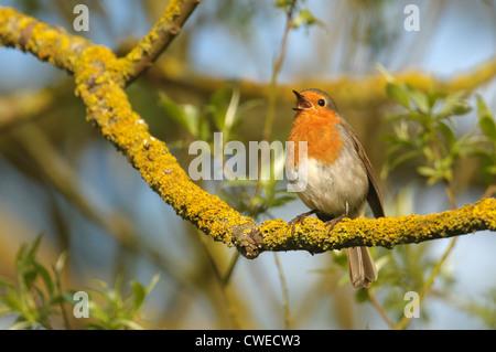 European robin (Erithacus rubecula aux abords) des profils en chanson au printemps. Le Cambridgeshire. Mai. Banque D'Images