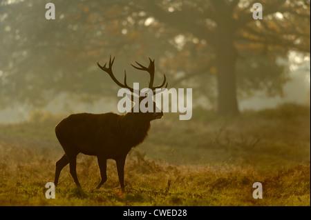 Red Deer (Cervus elephas) stag et hinds en automne à Richmond Park dans le Surrey. Novembre. Banque D'Images