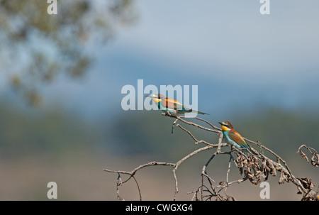 European Bee-eaters, Merops apiaster. L'Espagne.