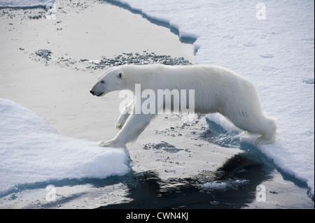 L'ours blanc, Ursus maritimus, pontant les floes de glace au nord de la mer Monte Carlo, Banque D'Images