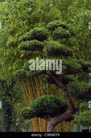 Taxus cuspidata, Bonsai, if du Japon