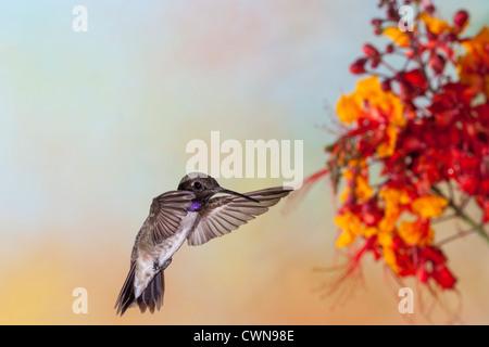Colibri à gorge noire, (Archilochus alexandri, se nourrissant de 'Mexican Bird-of-Paradise' fleurs. Banque D'Images