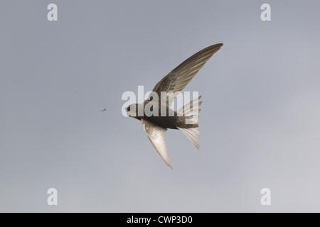 (Apus apus Common Swift), adultes en vol, la capture d'insecte, Suffolk, Angleterre, juin Banque D'Images