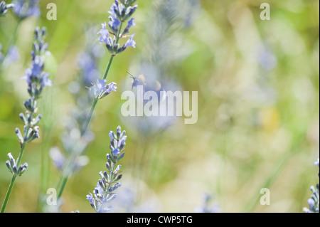 Fleurs de Lavande Banque D'Images