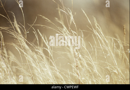 Caerulea molinie Transparent, Purple Moor Grass Banque D'Images
