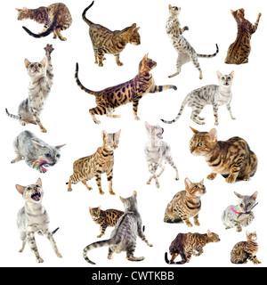 Groupe de chats de race bengal sur fond blanc Banque D'Images