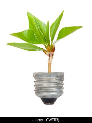 Arbre Vert, fruit d'une ampoule Banque D'Images