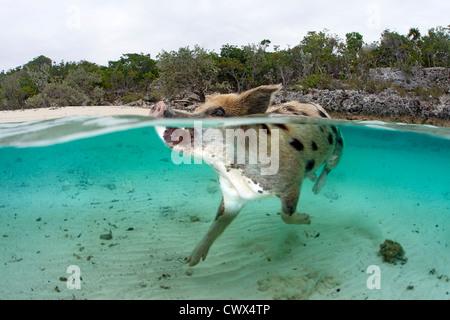 Une population de porcs nage dans les eaux claires des Bahamas à Staniel Cay pour saluer un bateau plein de touristes. Banque D'Images