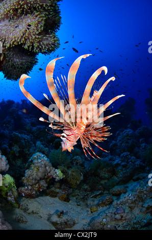 Mer Rouge, sous-marin, les récifs coralliens, sea life, la vie marine, de l'océan, la plongée, vacances, eau, poissons Banque D'Images
