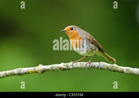 European Robin (Erithacus rubecula aux abords) des profils perché, Abbots Leigh, North Somerset, Royaume-Uni Banque D'Images