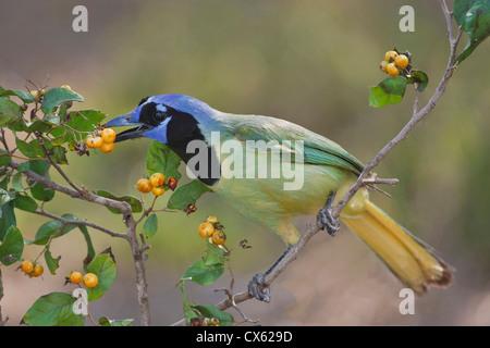 (Cyanocorax yncas Jay vert) des profils de manger les fruits d'anaqua, Texas Banque D'Images