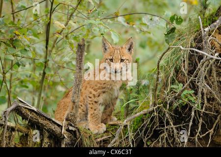 jeune lynx Banque D'Images