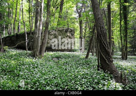 L'ail des ours (Allium ursinum) ramsons (tapis de plancher bois) autour de piton calcaire, Wiltshire, Angleterre, Banque D'Images