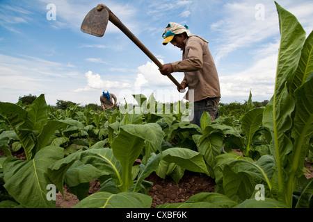Les personnes qui travaillent dans une plantation de tabac près de Salta, Province de Salta, Argentine.
