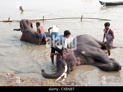 Les jeunes hommes, mahouts, lave-défenses des éléphants dans le fleuve saint Ganges en préparation de Sonepur juste Banque D'Images
