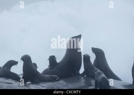 Cape (Arctocephalus pusilus) dans le brouillard, Skeleton Coast National Park, Namibie, Afrique Banque D'Images