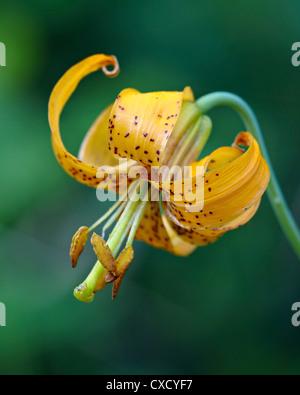 Tiger Lily (Lily) Colombie-Britannique (Oregon) lily (Lilium columbianum), l'Idaho Panhandle Forêts nationales, Banque D'Images