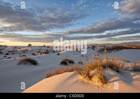 La première lumière sur un cluster de yucca parmi les dunes, White Sands National Monument, Nouveau-Mexique, États Banque D'Images