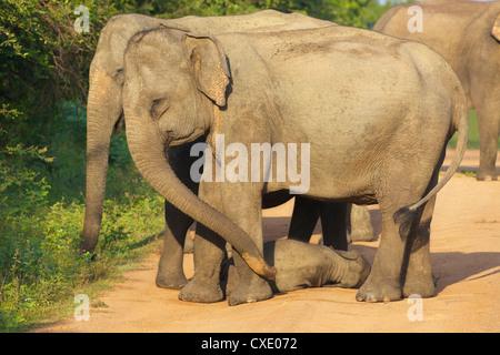 Les éléphants d'Asie sauvages avec bébé éléphant, le parc national de Yala, au Sri Lanka, en Asie