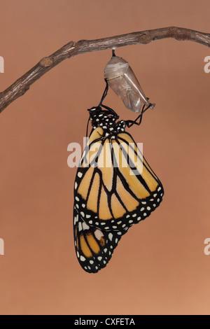 Un monarque (Danaus plexippus) sécher ses ailes pendant la première heure après avoir émergé de sa chrysalide Banque D'Images