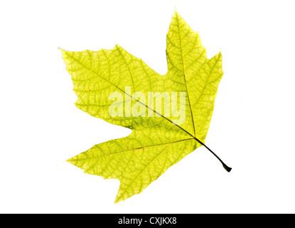 Lonely feuille d'un arbre plan, isolé sur un fond blanc. Banque D'Images