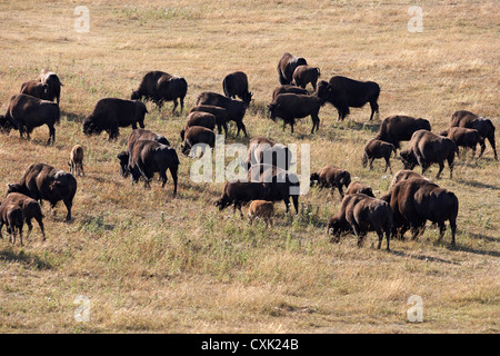 Troupeau de bisons, Tacarsey Bison Ranch, Pincher Creek, Alberta, Canada Banque D'Images