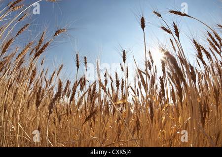 Close-up de tiges de blé mûri au soleil sur le terrain, Pincher Creek, Alberta, Canada Banque D'Images