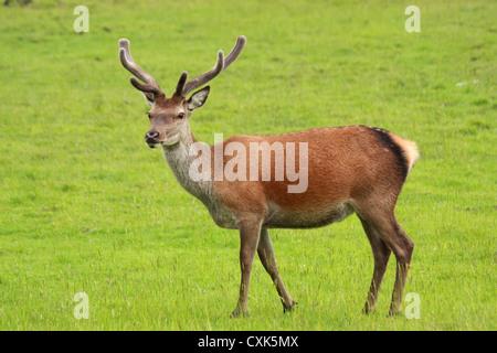 Red Deer stag, Cervus elaphus, en velours de prises sur l'île de Jura, Ecosse Banque D'Images