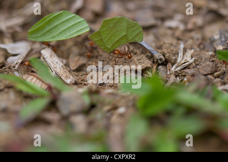 Les fourmis coupeuses de feuilles feuilles de transport au Costa Rica, Amérique centrale. Banque D'Images