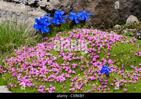 Le silène acaule ou un coussin Rose (Silene acaulis), Gamsgrube, Parc National du Hohe Tauern, Carinthie, Autriche, Europe