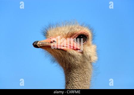 Autruche d'Afrique du Sud (Struthio camelus australis), adulte, homme, portrait, Oudtshoorn, Petit Karoo, Afrique du Sud, l'Afrique