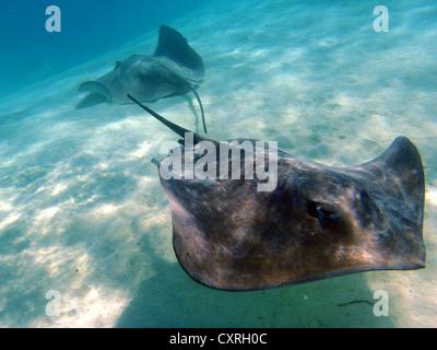 Stingray (Dasyatis sp.), Hauru Point, Moorea, îles du Vent, îles de la société, Polynésie française, l'Océan Pacifique Banque D'Images