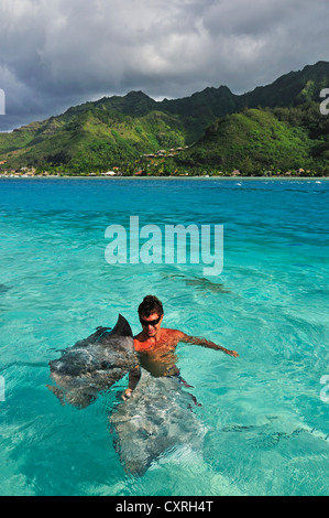L'homme nage avec une raie (Dasyatis sp.), Stingray World, Hauru Point Moorea, îles du Vent, îles de la société Banque D'Images