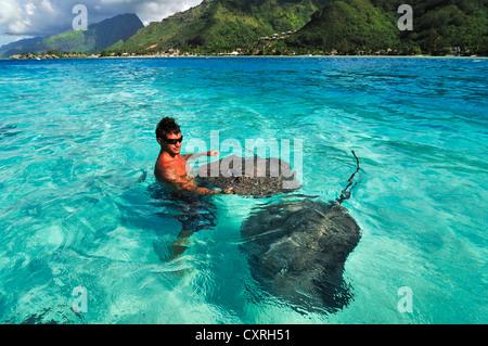 L'homme nage avec les raies (Dasyatis sp.), Stingray World, Hauru Point Moorea, îles du Vent, îles de la société Banque D'Images