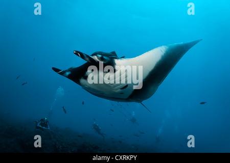 Un groupe de plongeurs de regarder un océanique géant manta (manta birostris) Nager dans le bleu de la mer, San Banque D'Images